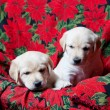 Stock Photo: Lab Puppies