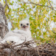 Ferruginous Hawk Nest — 图库照片