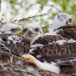Three Little Hawks — Lizenzfreies Foto