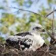 Stock Photo: Young Ferruginous Hawk Chick