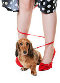 Tangled Dachshund Dog — Stock Photo
