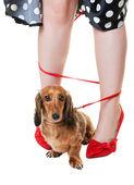 Zamotaný jezevčík pes — Stock fotografie