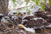 Three Little Hawks — Stockfoto