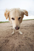 Wide Angle Golden Retriever — Stock Photo