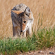 Roadside Coyote - Stock Photo