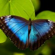 Blue Butterfly — Photo
