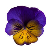 Frilly Purple Pansy — Stock Photo
