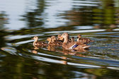 Mallard Duck Family — Stock Photo