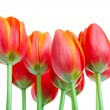Stock Photo: Tall Tulips
