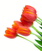 Orange Tulips — Stock Photo