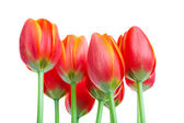 Tall Tulips — Stock Photo