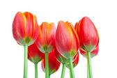 Tall Tulips — Stock Photo