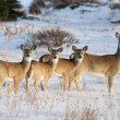 White Tail Deer Family — Stock Photo