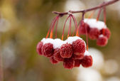 Snow Covered Crab Apples — Stock Photo