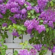Stock Photo: Blooming Purple Lilac