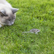 Stock Photo: Cat and Mouse