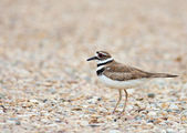 Killdeer — Stock Photo