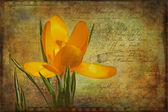Vintage Yellow Crocus — Stock Photo