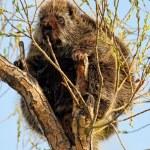 Porcupine in Tree — Stock Photo #45684751