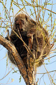 Porcupine in Tree — Stock Photo