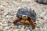 Tortoise Outside — Stock Photo