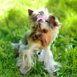 Yorkshire terrier in a grass — Stock Photo