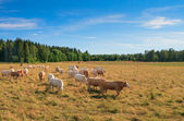 Herd of cows on a meadow — Stock Photo
