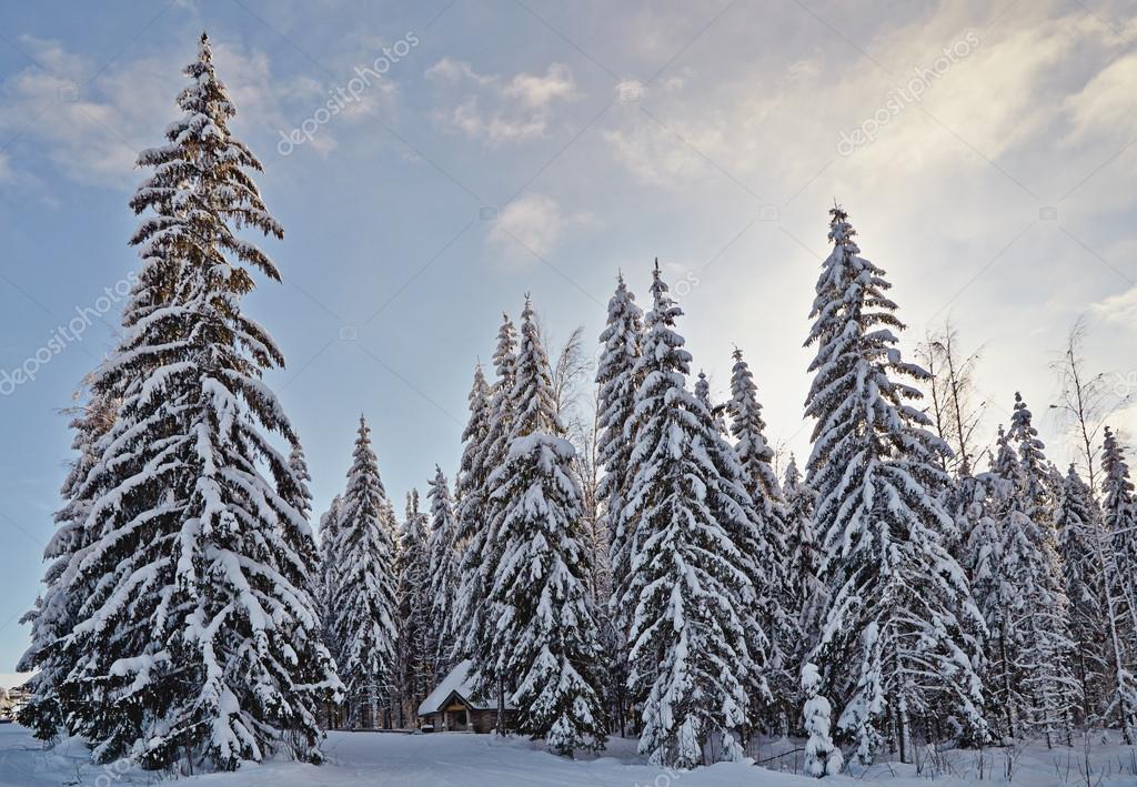 Forêt De Sapin Hiver Avec La Neige Couvrait Arbres Et Petite Cabane