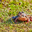 Stock Photo: Breeding frog couple in the spring season. Selective focus
