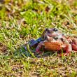 Breeding frog couple in the spring season. Selective focus — Stock Photo
