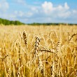 Gold wheat field, forest and blue sky.Selective focus — Stock Photo
