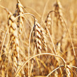 Wheat. Selective focus — Stock Photo