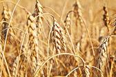 Wheat. Selective focus — Stock Photo