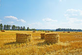 Hay vertical rolls on harvest field. Sunny day. — Stock Photo
