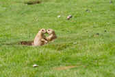 Prairie dog — Stock fotografie