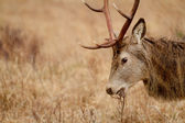 Reindeer — 图库照片