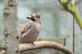 European Jay Bird — Stock Photo