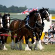 Shire Horses — Stock Photo