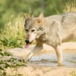 Grey Wolf — Stock Photo