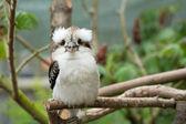 Kookaburra — Photo