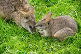 Mother and baby kangaroo — Stock Photo