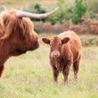 Highland Cows — Stock Photo