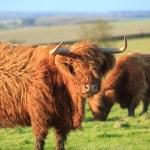 Highland cows — Stock Photo