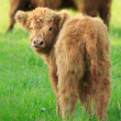 Highland cow — Stock Photo #49016527