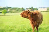 Vaca das terras altas — Fotografia Stock
