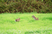 Wild Rabbits — Stock Photo