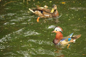 Mandarin Duck ( Aix galericulta) — Stock Photo