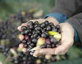 Hands holding fresh olives DOF — Stock Photo