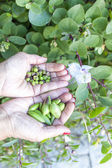 Woman hands showing wild capers — Stock Photo