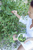 Picking wild capers — Stock Photo